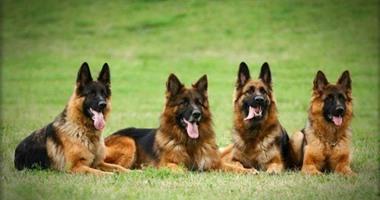 صفاقس: يجرون عمليات تجميل على الكلاب ويحقنوها بالسيليكون ويبعونها على أنها فصيلة نادرة