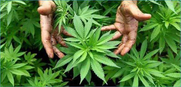 باجة: إيقاف صاحب منزل زرع الماريخوانا في منزله