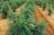 البرلمان اللبناني يسمح بزراعة
